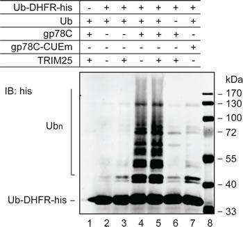 E4-like activity of gp78.