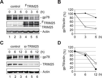 TRIM25 accelerates the metabolic degradation of gp78.
