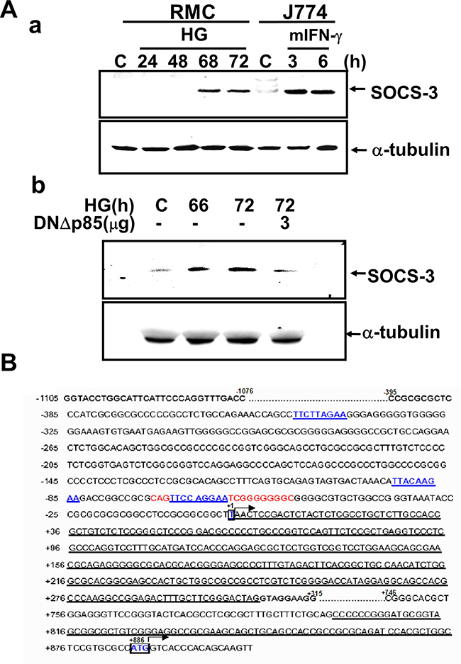 Induction of SOCS-3 expression in response to high glucose.
