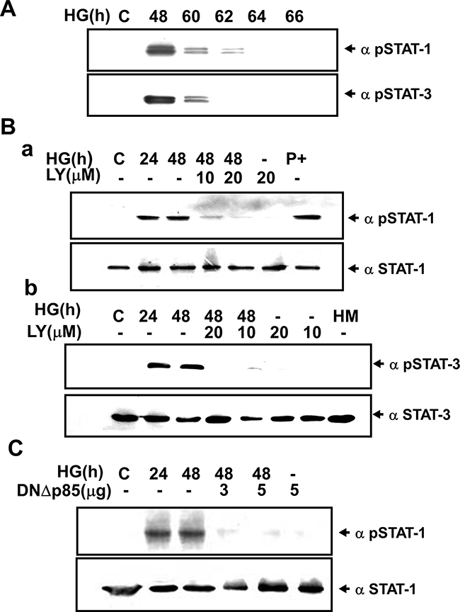 High glucose-induced phosphorylation ofSTAT1/3 in renal mesangial cells requires PI3K.