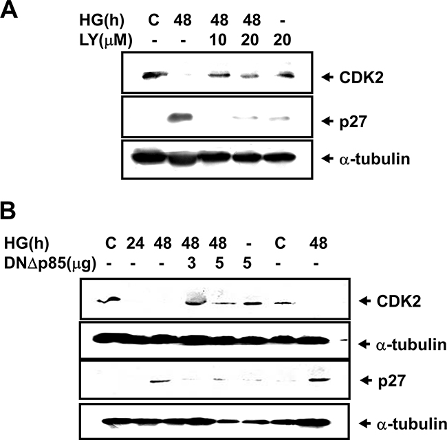 High glucose down-regulated CDK2 expression and up-regulated p27Kip1 expression in RMCs.