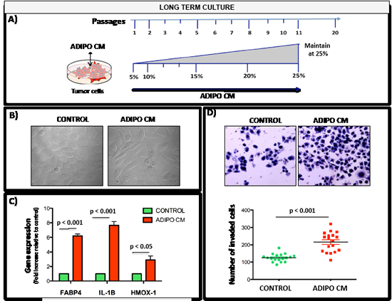 Chronic exposure to low dose Adipo CM increases invasiveness and induces FABP4, HMOX-1 and IL-1β expression.