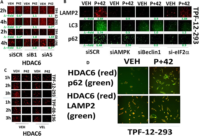 AR42 down-regulates HDAC6 expression through AMPK/eIF2α-autophagy signaling.