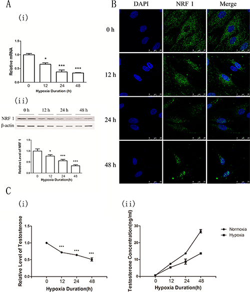 NRF1 levels and the testosterone concentration in the supernatant of primary cultured Leydig cells after hypoxia treatment (1% O2) for 0, 12, 24 and 48 h.