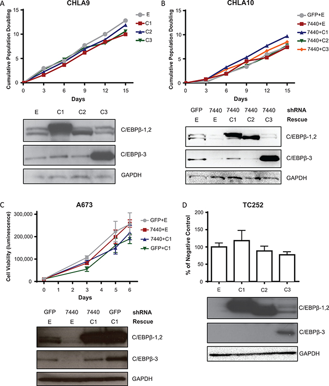 C/EBPβ isoform expression does not affect cell proliferation or viability in 2D culture.