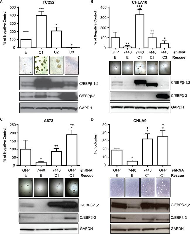 C/EBPβ-1 promotes attachment-independent cellular transformation.