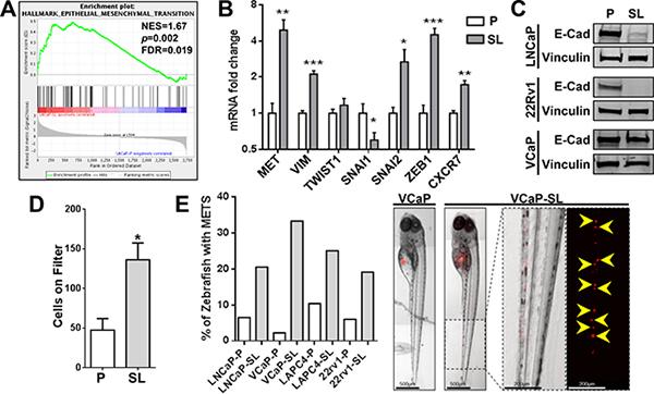 Reprogrammed PCa cells possess increased invasive/metastatic abilities.