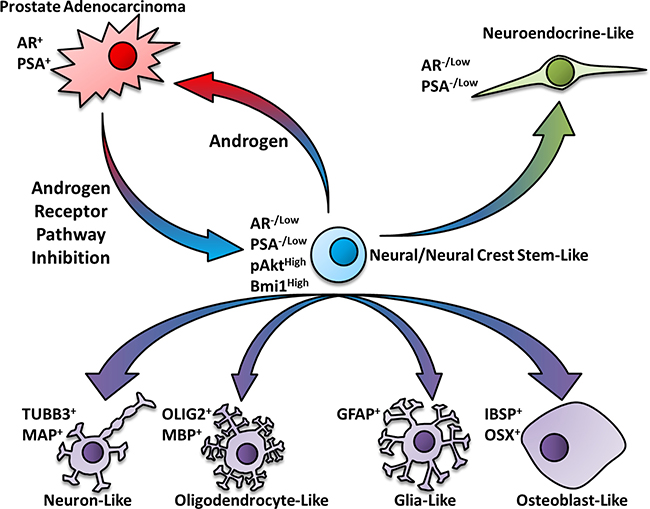Schematic pathway for the neural/neural crest stem cell-mediated transdifferentiation of prostate cancer cells.
