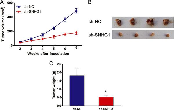 LncRNA SNHG1 depletion inhibited tumor growth in vivo.