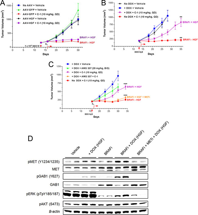 Elevated local/tumor HGF expression is required for resistance to BRAF inhibition in vivo.