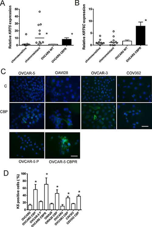KRT5, KRT6C mRNA and K5 protein expression in serous ovarian cancer cell lines following chemotherapy treatment.