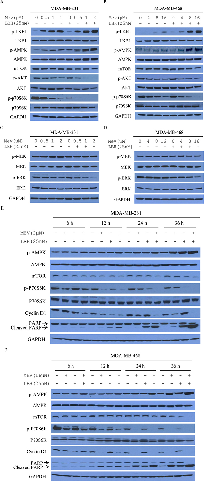 Mevastatin and LBH589 activate AMPK and inhibit mTOR in TNBC cell lines.