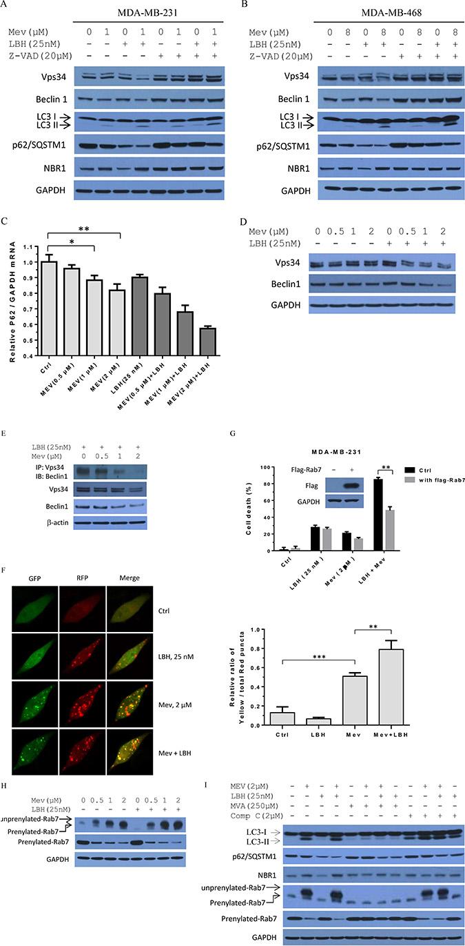Mevastatin blockade of mevalonate signaling abrogates LBH589-induced autophagy maturation in TNBC cells.