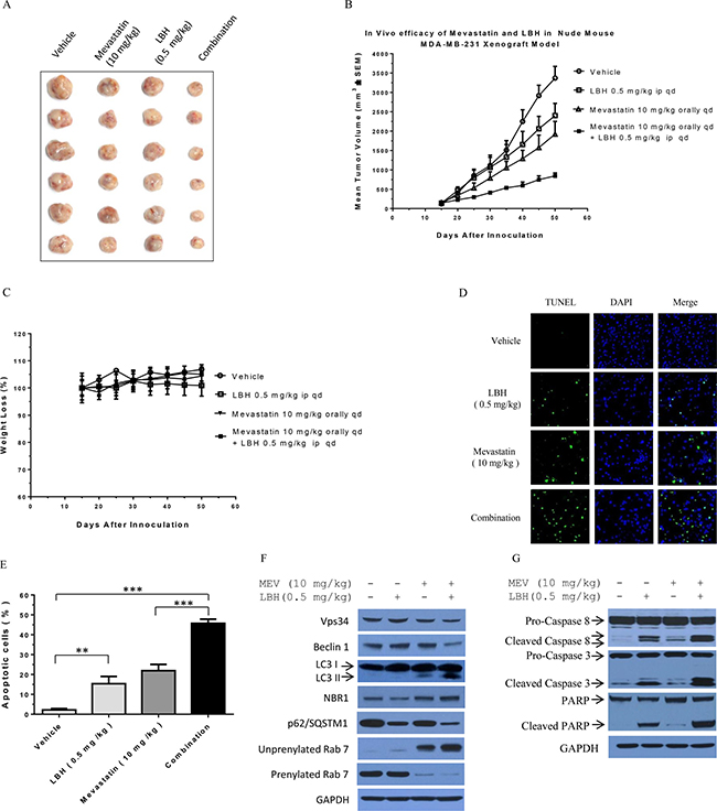 Mevastatin plus LBH589 enhances TNBC cell death in vivo in MDA-MB-231 cell xenografted mice.