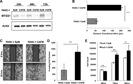 Treatment with CAF media results in decreased MTSS1 and increased proliferation and migration in PANC-1 cells.