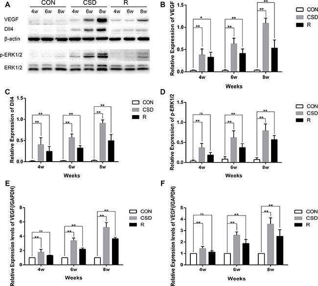 Western blot and RT-qRCR showing the change in expression of VEGF, Dll4 and p-ERK1/2.