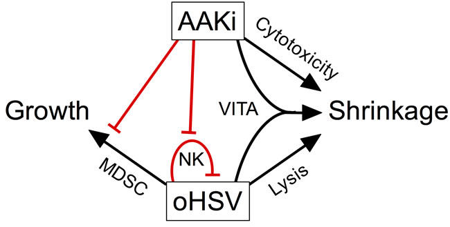 Model of pleotropic effects of alisertib on oncolytic herpes virotherapy.