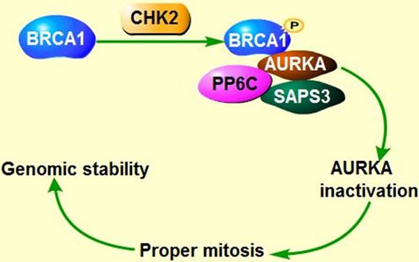 Co-regulation of AURKA, BRCA and Ras in tumorigenesis.