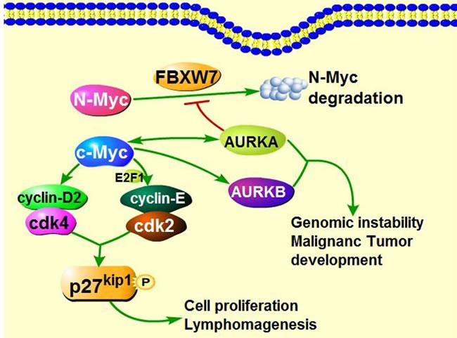 The interaction of Myc and Aurora Kinases in tumorigenesis.