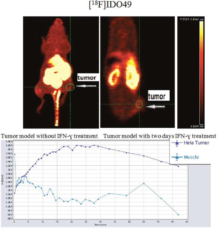 [18F]IDO49 PET imaging in HeLa Cervical tumor model with IFN-γ treatment.