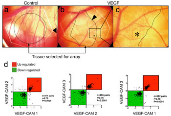 Affymetrix GeneChip screening for VEGF-A-induced genes during CAM vascularization.
