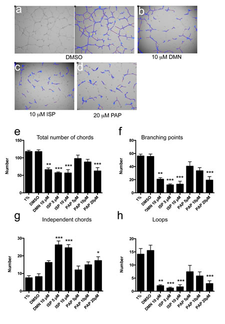 Inhibition of Eg5 or KIF20A protein function impairs in vitro angiogenesis in the absence of mitosis.