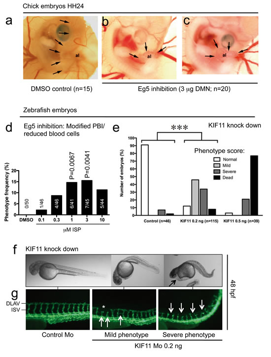 Effects of kinesin blockade in chick and zebrafish embryos.