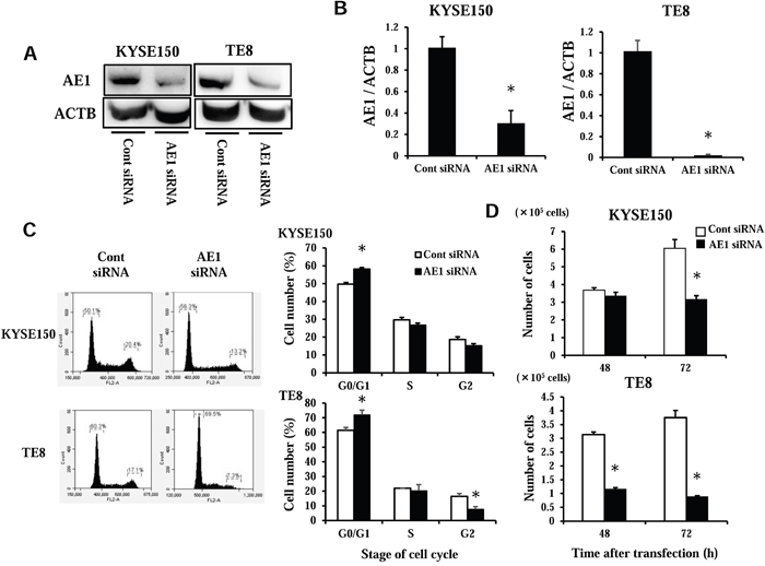 AE1 controls the cell cycle progression of ESCC cells.