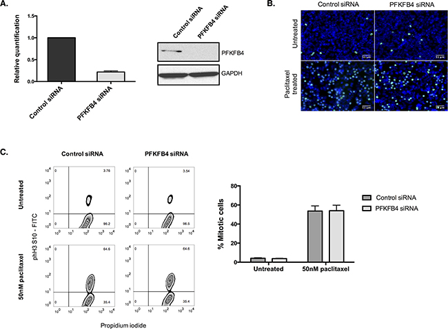 PFKFB4 depletion in A2780 cells has no effect on the number of mitotically arrested cells.