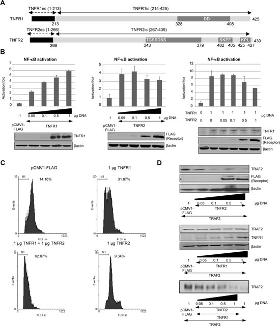 TNFR2 expression affects TNFR1 signalling.