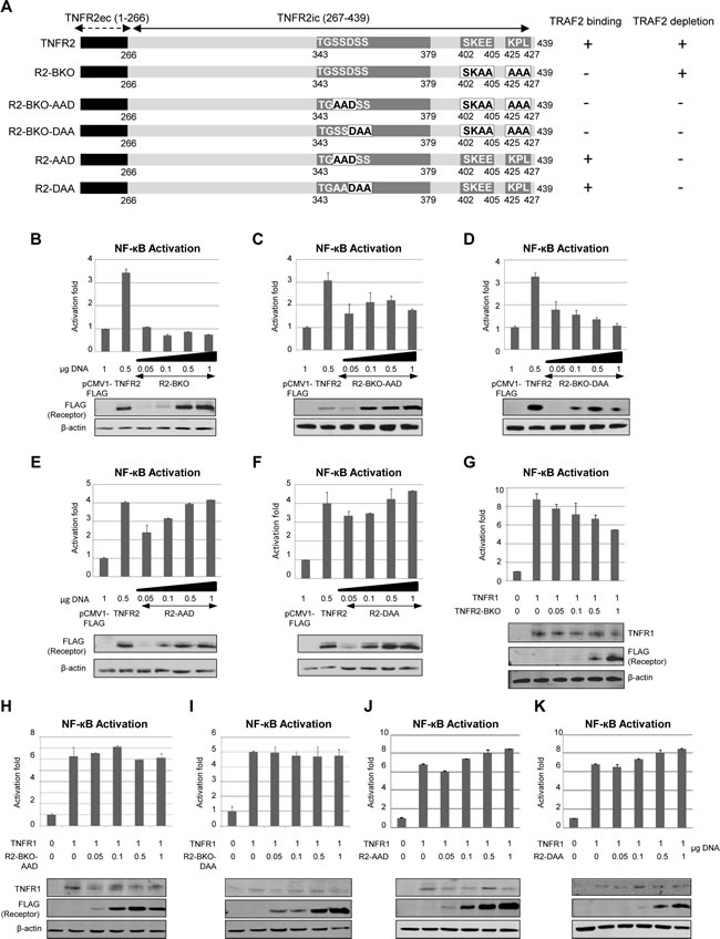 Effect of TNFR2-induced TRAF2 depletion on NF-kB activation by TNFR1.