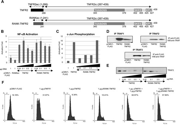 Functional analysis of the chimeric receptor RANK-TNFR2.