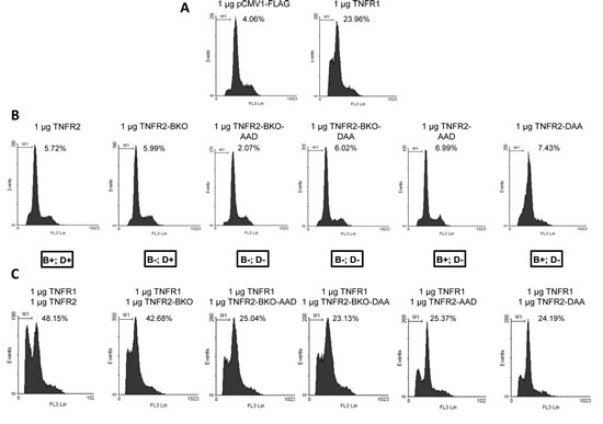 Effect of TNFR2-induced TRAF2 depletion on TNFR1 cytotoxicity.