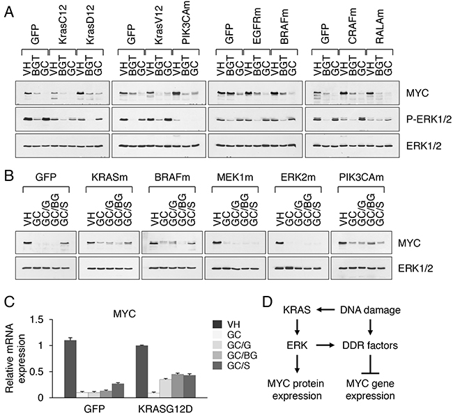 Activation of ERK facilitates MYC suppression under drug induced stress conditions.
