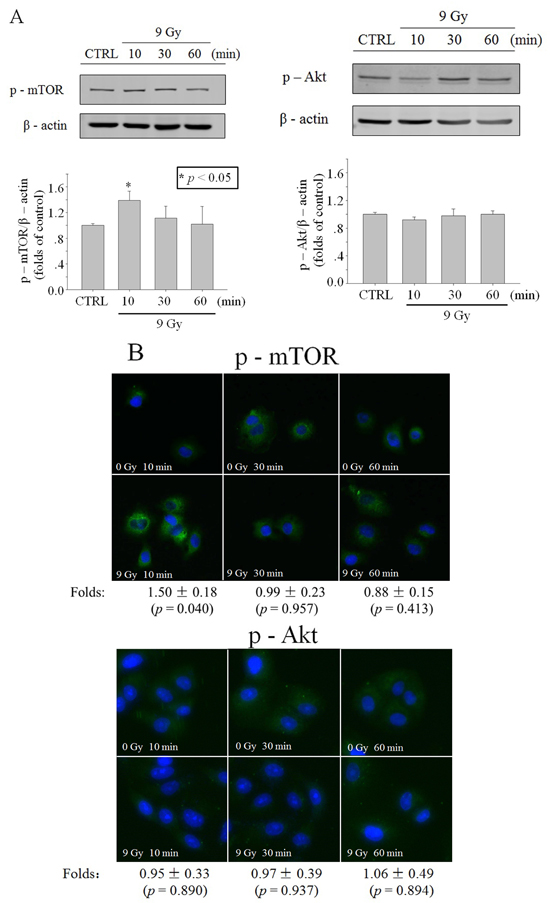 Activation of Akt/mTOR in whole cells after X-ray irradiation.