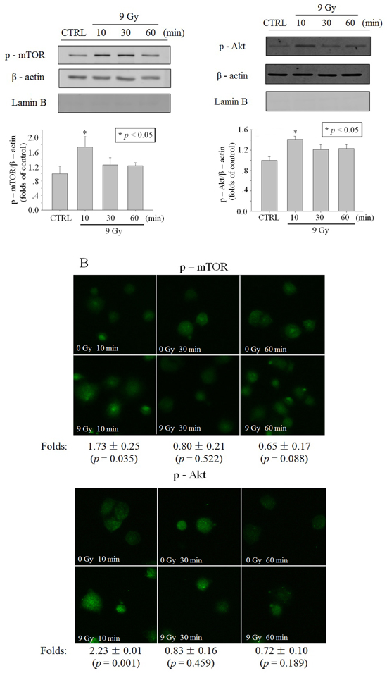 Activation of Akt/mTOR in cytoplasm after X-ray irradiation.