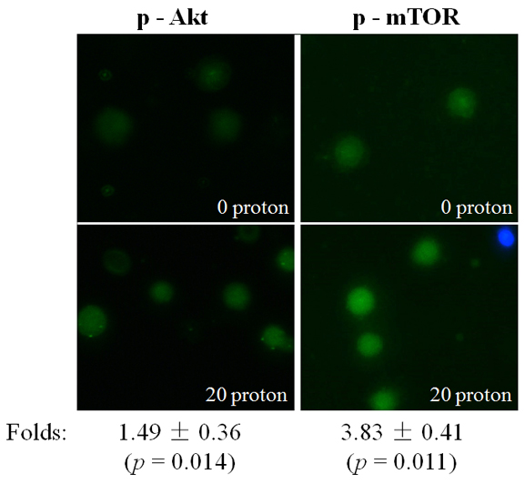 Activation of Akt/mTOR after proton targeting.