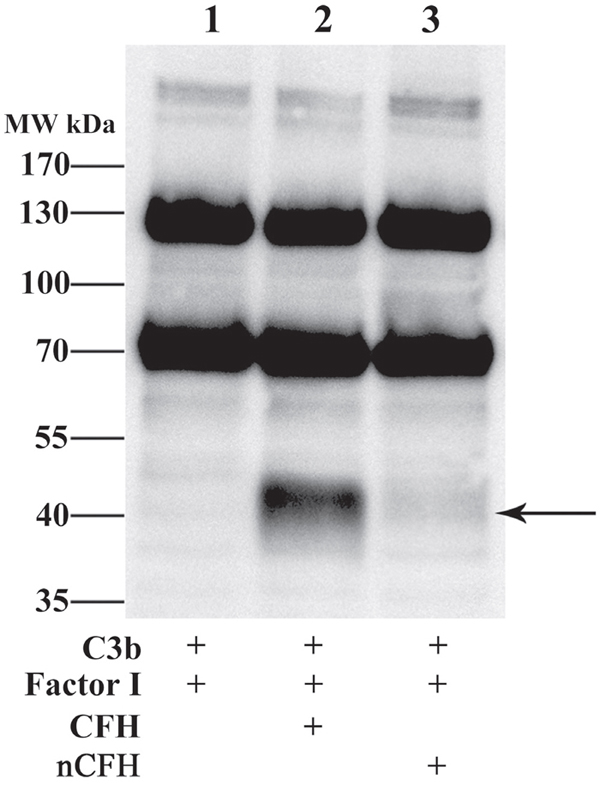 CFH but not nCFH cleaves C3b - Cleavage of C3b by CFH and nCFH was assessed using Western blot.