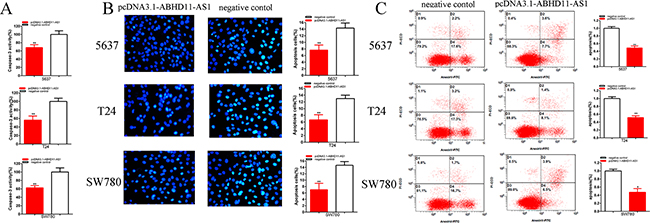 Effects of pcDNA3.1-ABHD11-AS1 on apoptosis.
