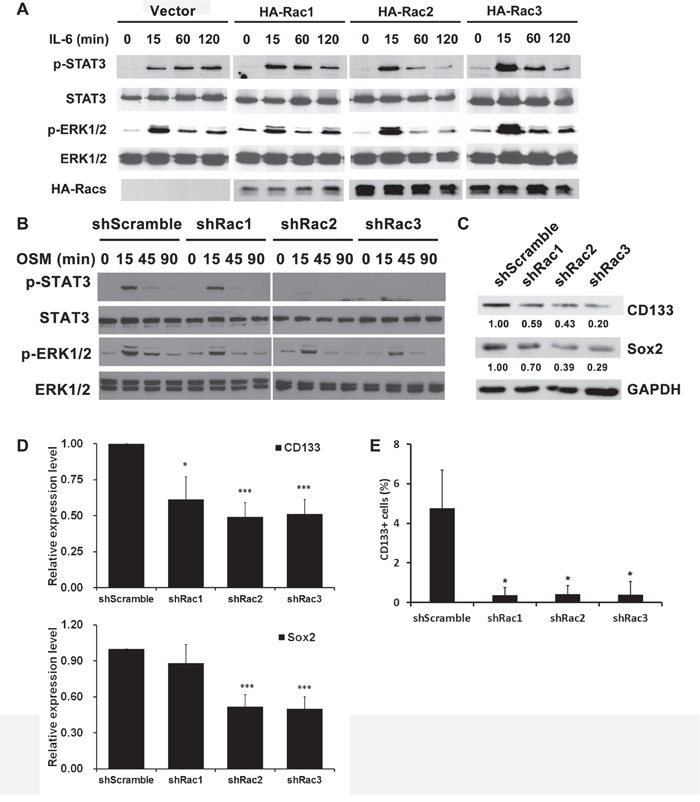 Rac proteins regulate the activation of STAT3 and ERK, and the expression of stemness markers in glioblastoma tumorspheres.