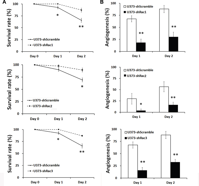 Glioblastoma tumor spheroid cells with reduced expression of Racs promote the survival of fish embryos and eliminate the angiogenesis induced by xenotransplanted tumor cells.