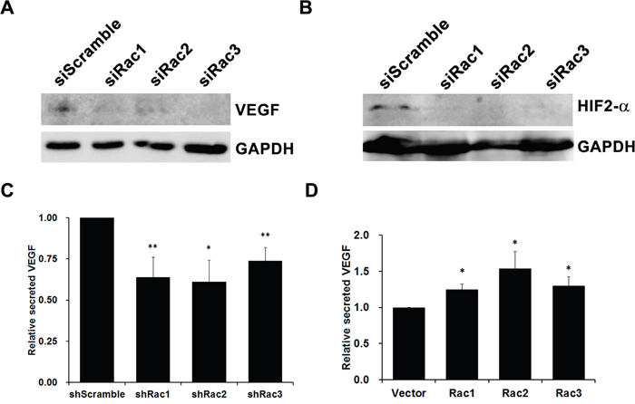 Rac proteins increase angiogenesis factors VEGF and HIF-2α expression in glioblastoma tumorspheres.
