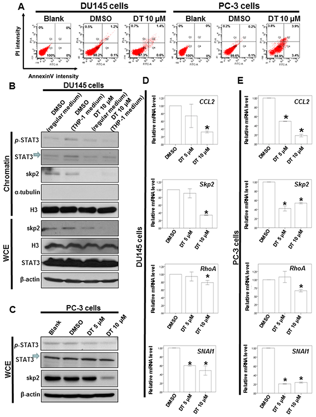 DT induces partial apoptosis and inhibits the protein expression of p-STAT3 and Skp2 protein expression through blocking the migration of STAT3 into chromatin fraction in prostate cancer cells.
