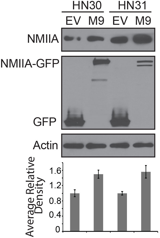 Western blot of cell lines stably expressing EGFP-NMIIA construct.