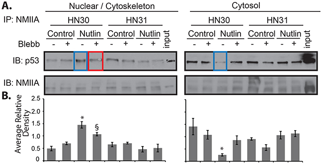 NMIIA exhibits increased interaction with wtp53 in the nucleus.