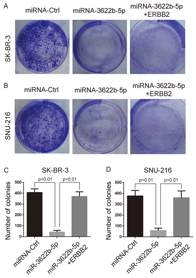 MiR-3622b-5p suppresses the colony formation ability of ERBB2-positive cancer cells.