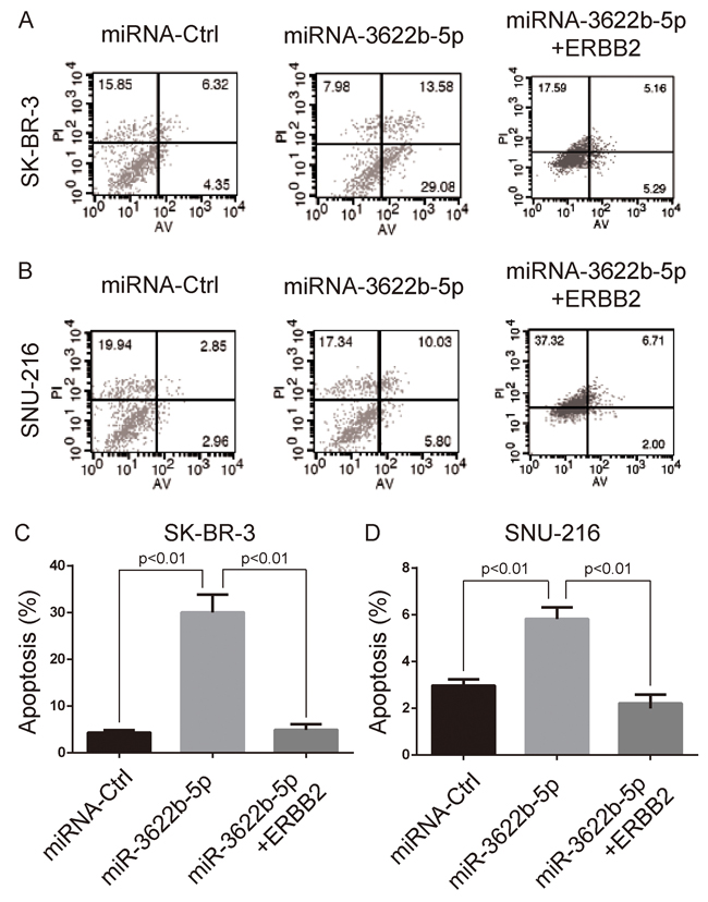 MiR-3622b-5p induces the apoptosis of ERBB2-positive cancer cells.