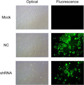 The immunofluorescence images of the AEG-1 staining in the different groups.