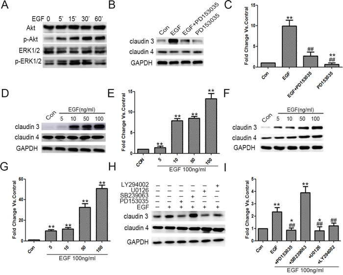 Exogenous EGF increased CLDN3 expression in ADC cells, and this effect was mediated through ERK 1/2 and PI-3 Kinase.