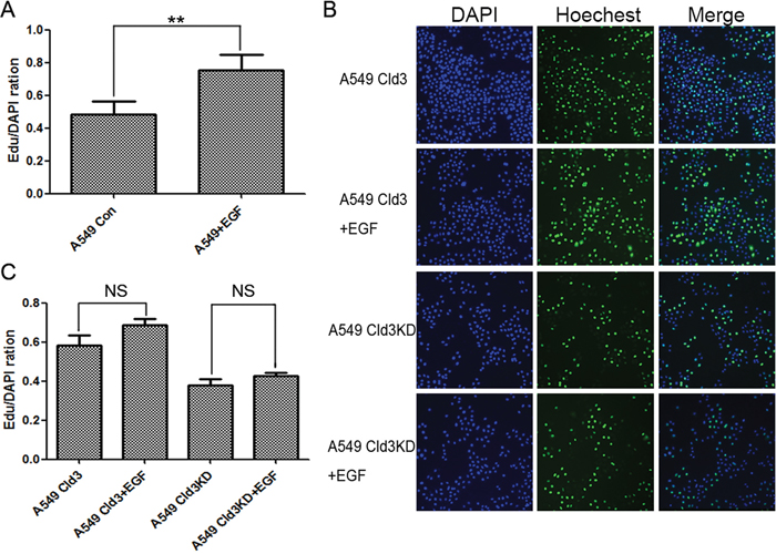 CLDN3 expression depends on the EGFR tyrosine kinase activity and modulates EGF-induced cell proliferation.